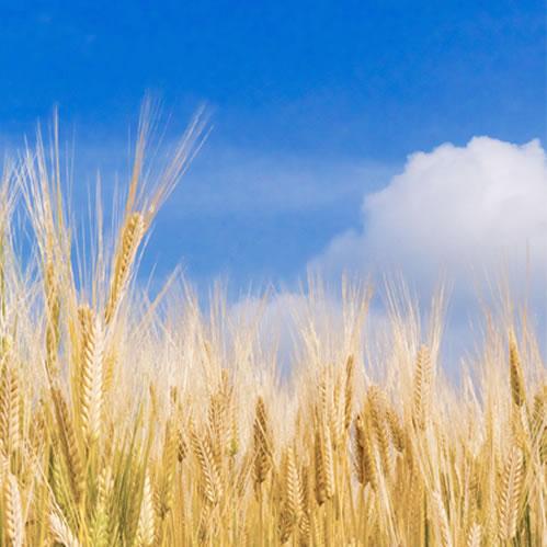 クレープフランチャイズ・十勝ルナクレープでは北海道産の小麦を使用しています。